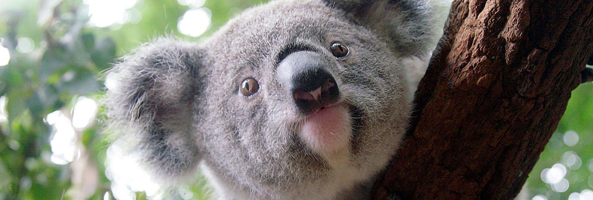 koala_joey-banner