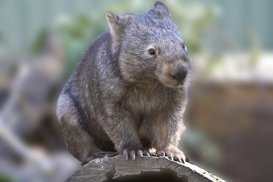 common_wombat