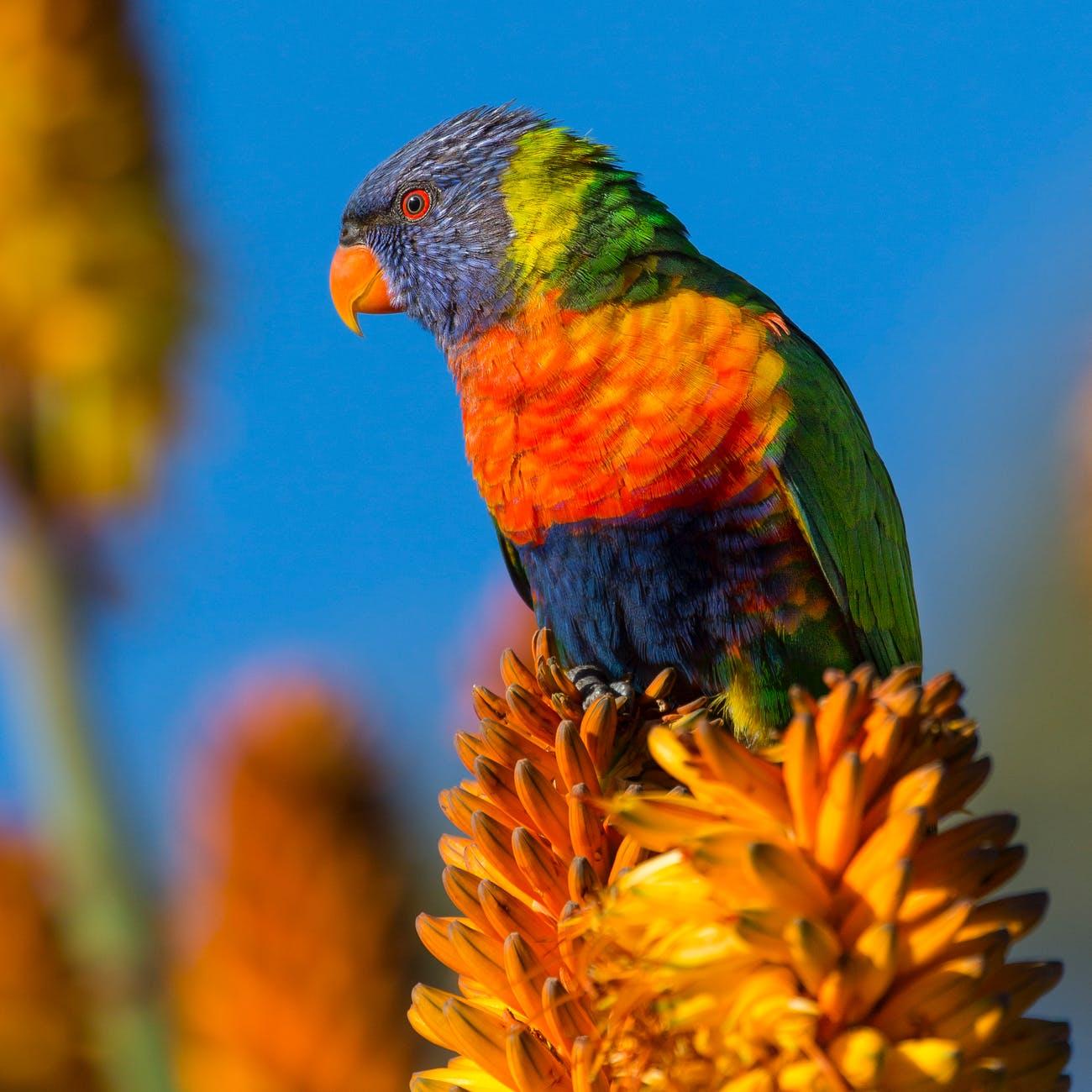 nature bird australia rainbow lorikeet