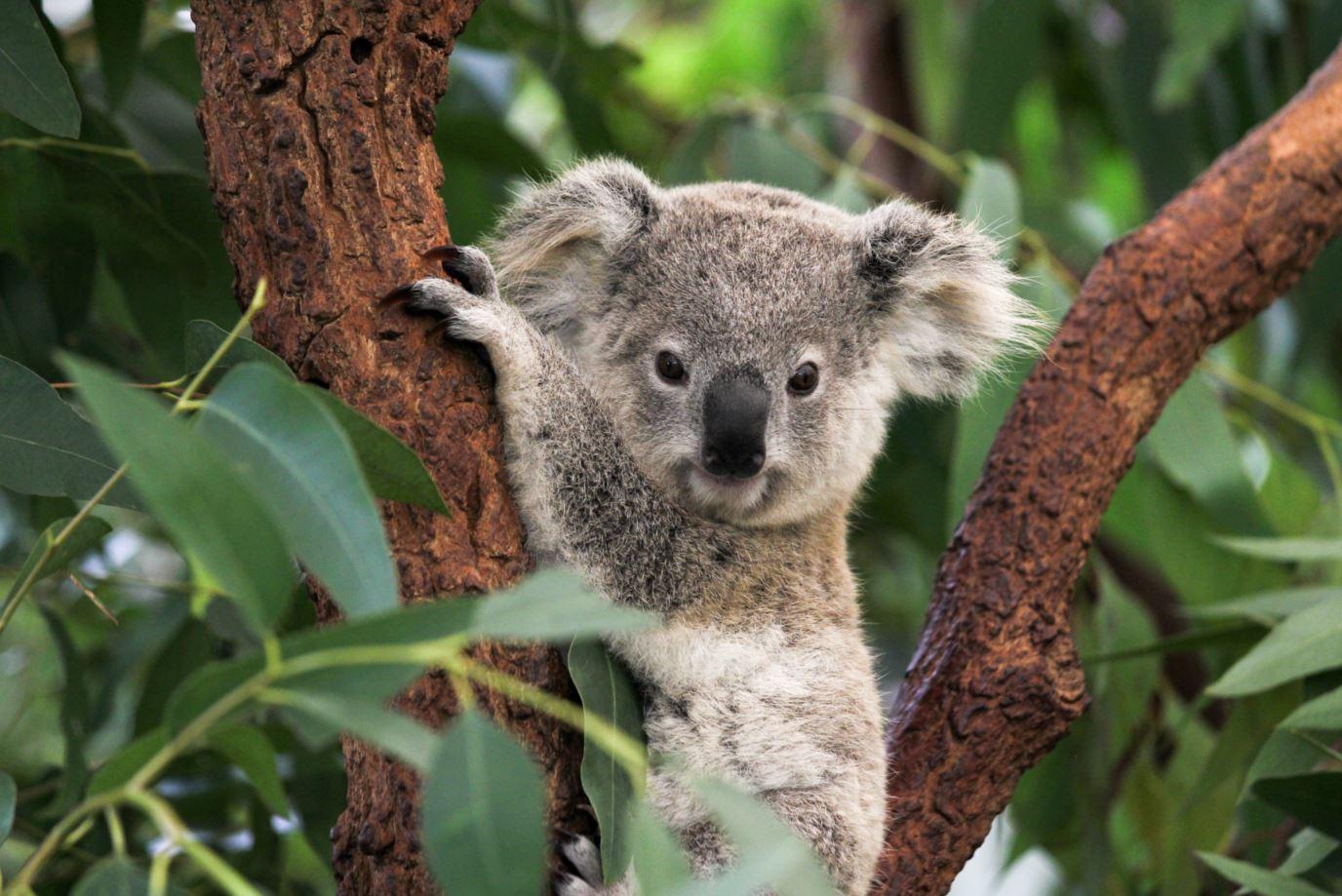 Koala_-_Nat