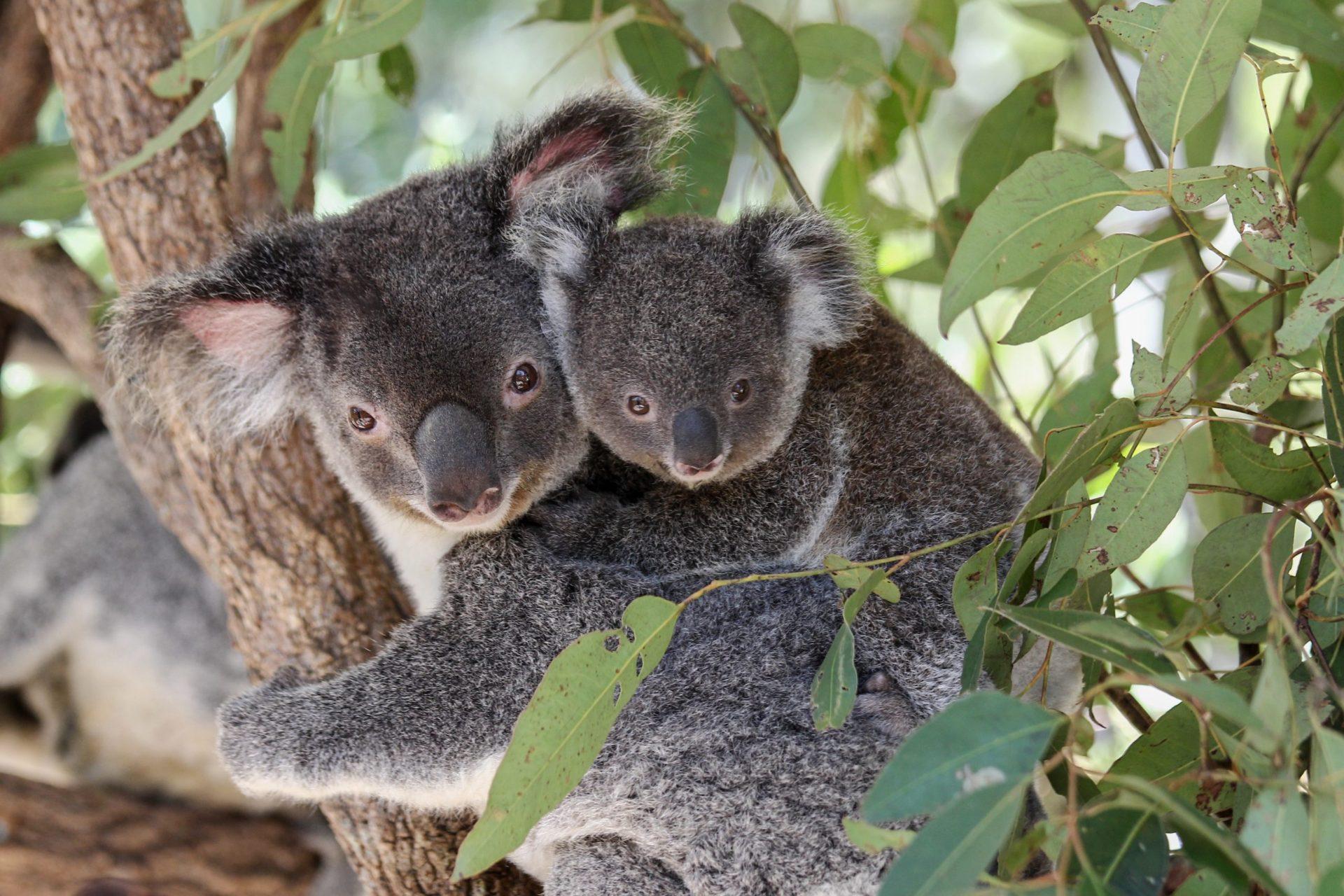 koalas oct edited-2